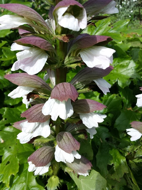 Acanthus white-pink flowers dark green leaves, nature landscapes.