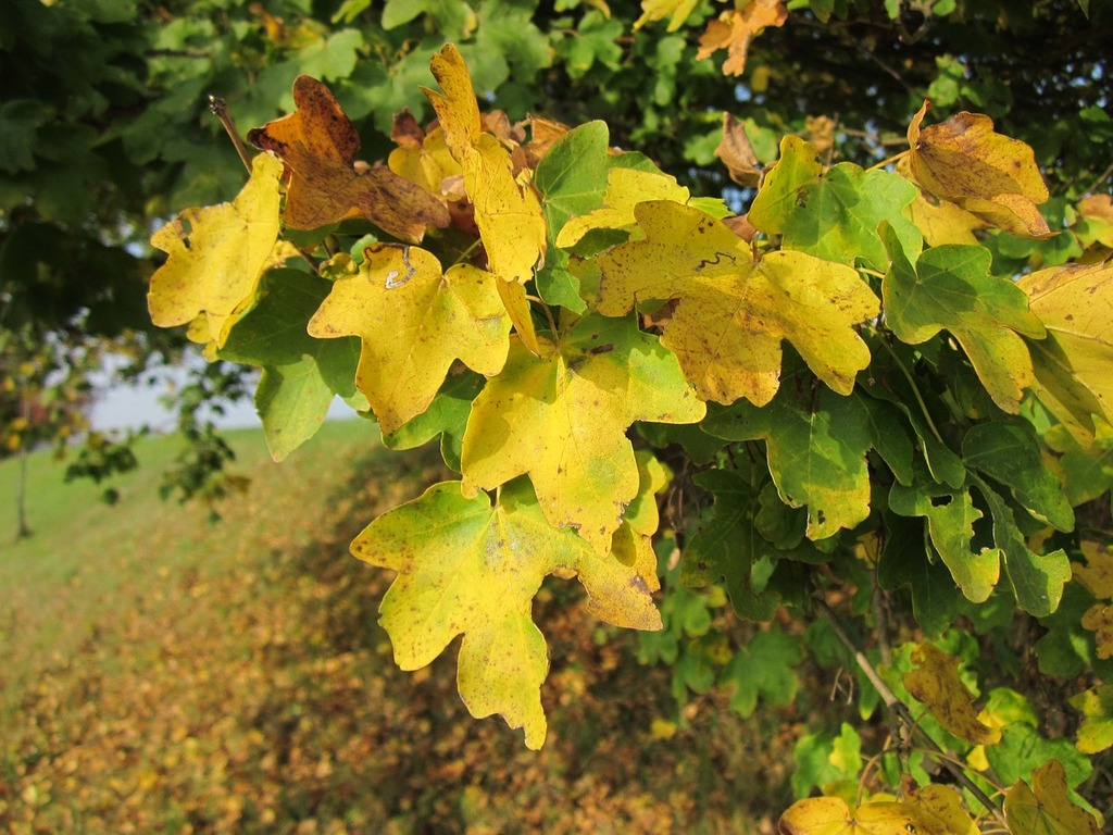 Acer Campestre Field Maple Hedge Maple Picryl Public Domain Image
