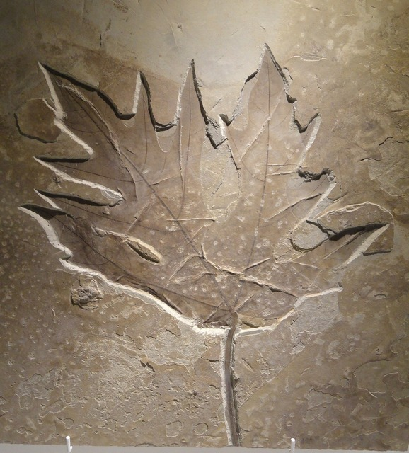 Acer leaf eocene, nature landscapes.