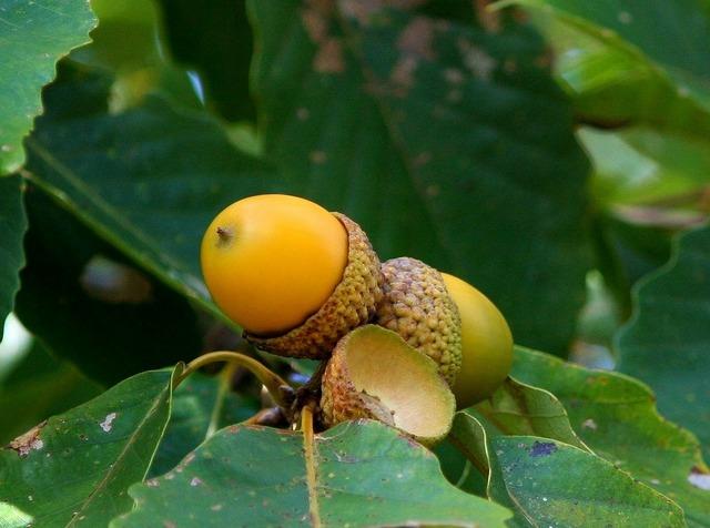 Acorn cluster oak seed nut, nature landscapes.