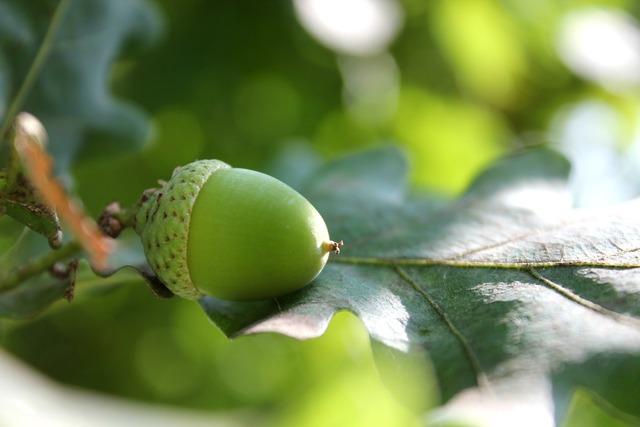 Acorn oak oak leaf.