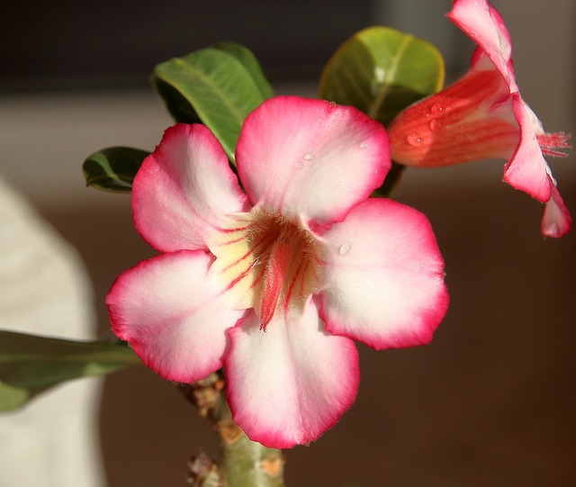 Adenium the desert rose petals.