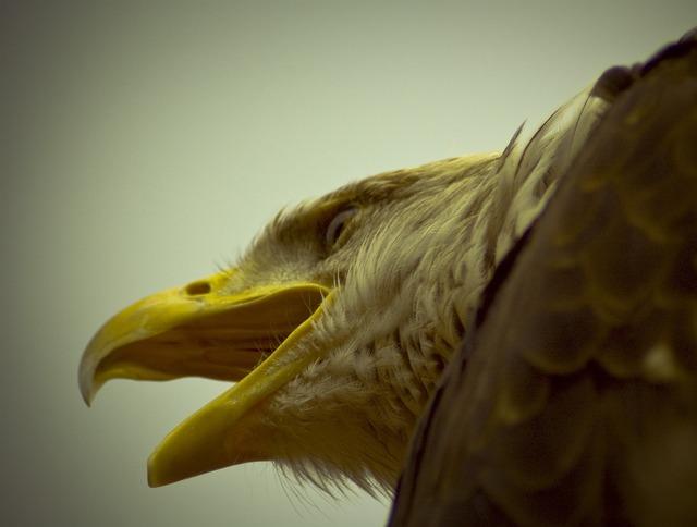 Adler bird of prey king.