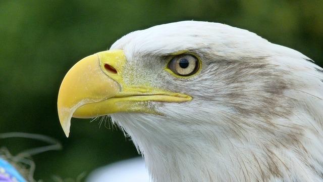 Adler white tailed eagle bald eagle, animals.
