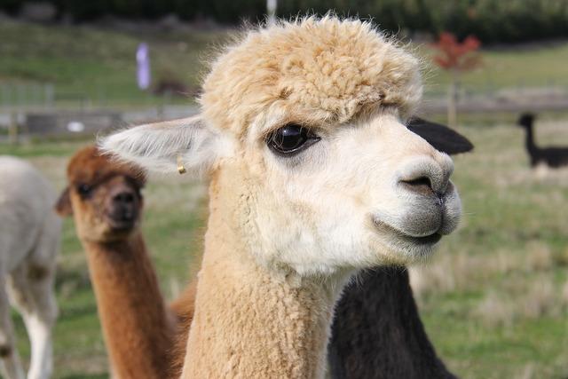 Adorable lamb alpacas.
