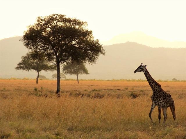 Africa giraffe safari.