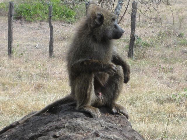 Africa kenya monkey.