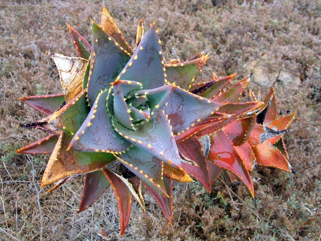African cactus colorful, health medical.