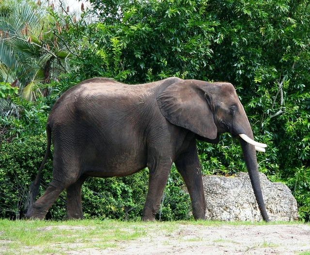 African elephant ivory tusk bull, animals.