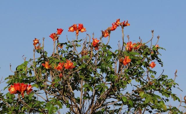 African tulip flower tree.