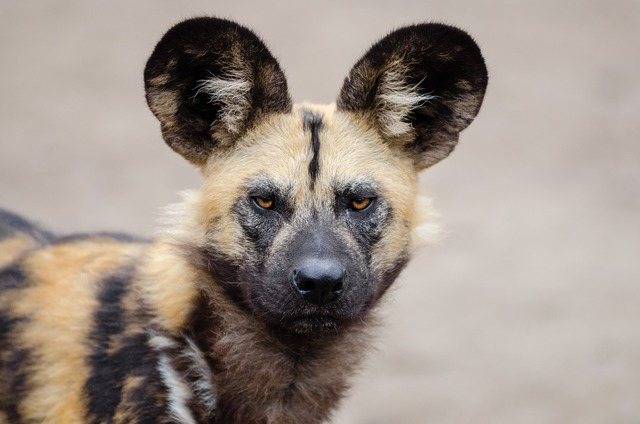 African wild dog lycaon pictus carnivorous mammal, backgrounds textures.