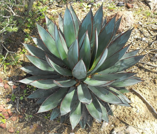 Agave blue glow symmetrical, nature landscapes.