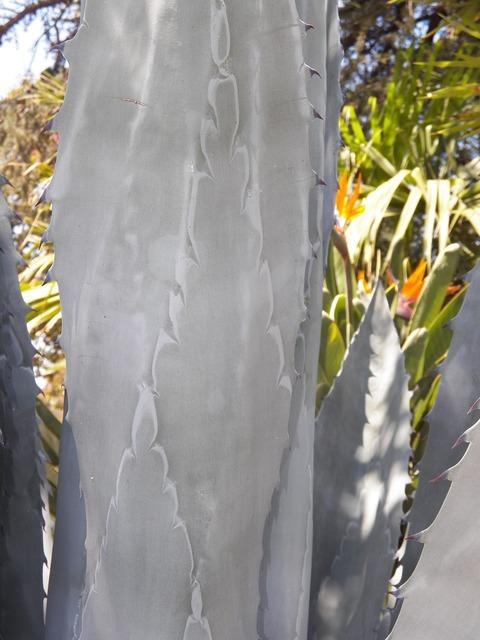 Agave cactus plant, nature landscapes.