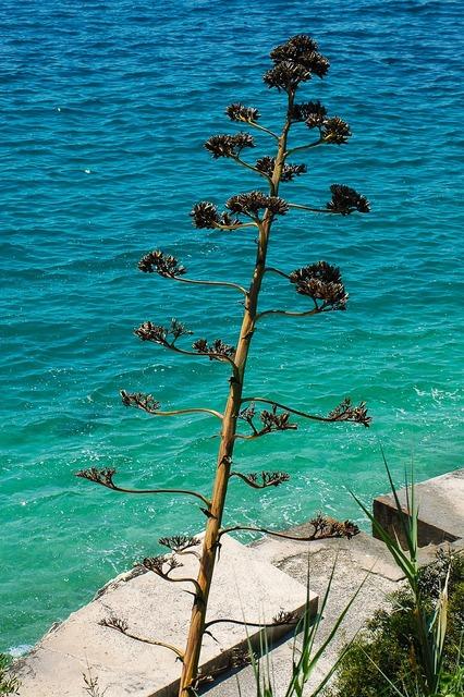 Agave plant inflorescence, nature landscapes.