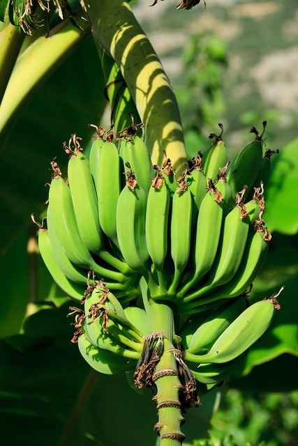 Agriculture banana branch, food drink.