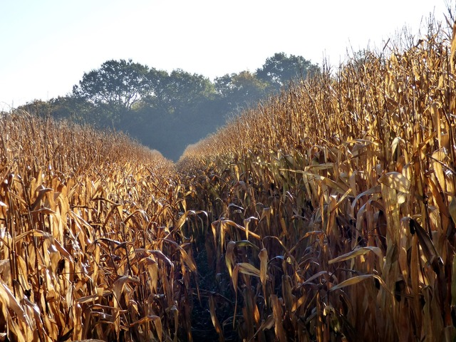 Agriculture corn cereals.
