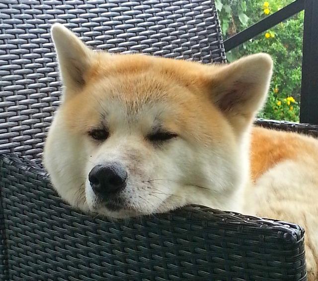 Akita dog japan, animals.