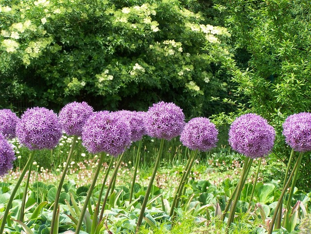 Allium flowers blossom, nature landscapes.