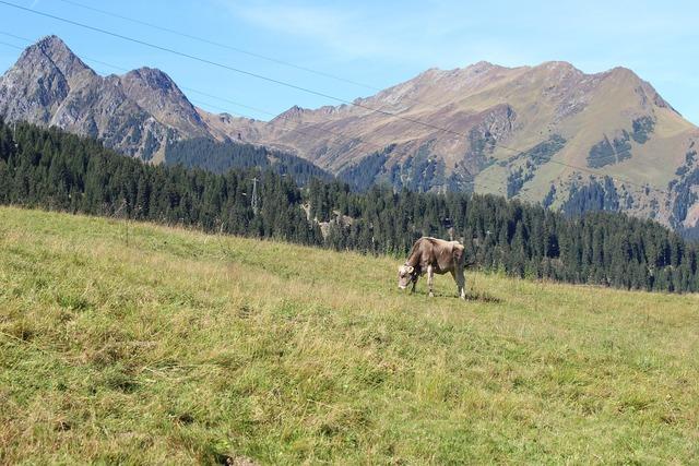 Alpine mountains cow.