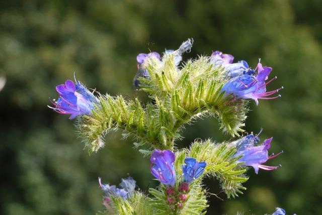 Alpine plant panicle boom.