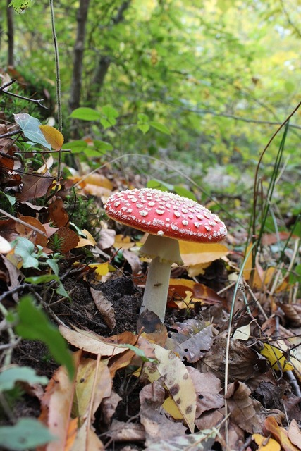 Amanita fungus forest, nature landscapes.