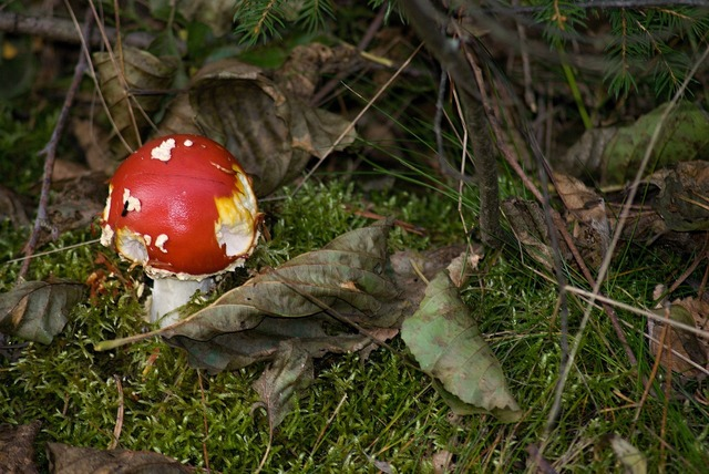 Amanita muscaria fungus macro, nature landscapes.