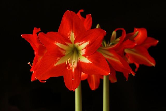 Amaryllis flower blossom, nature landscapes.