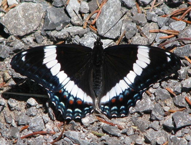 American white admiral limenitis arthemis butterfly.