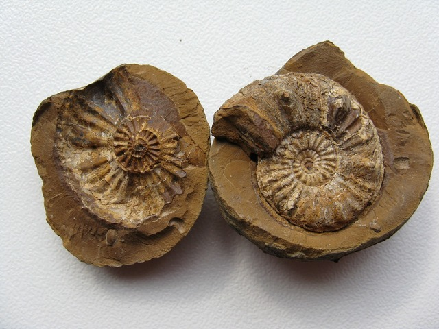 Ammonites fossils cephalopods.