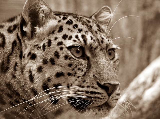 Amur leopard sepia, animals.