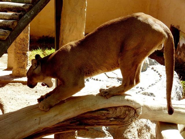 Andean puma zoo animal, animals.