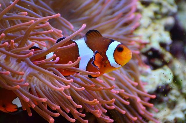 Anemone fish clown fish aquarium.