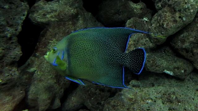 Angelfish fish tropical, animals.