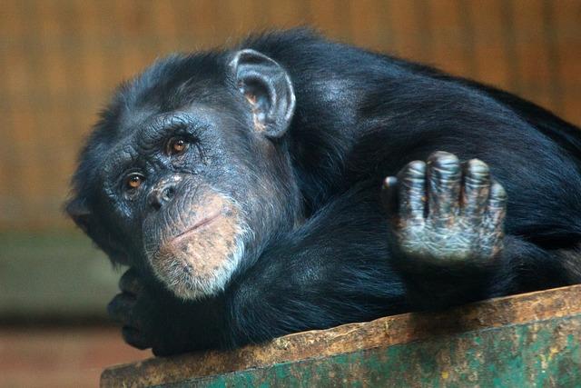 Animal ape chimp, animals.