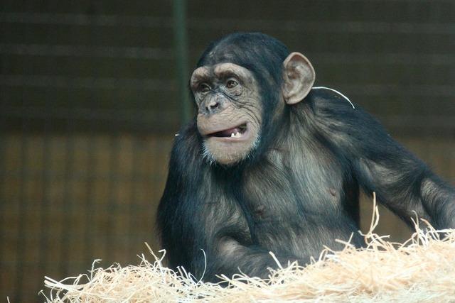 Animal ape chimpanzee, animals.