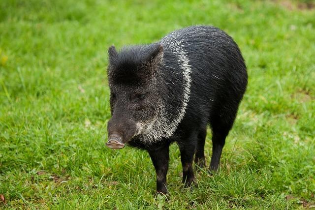 Animal black boar, animals.