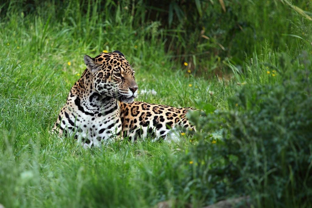 Animal carnivore cat, animals.