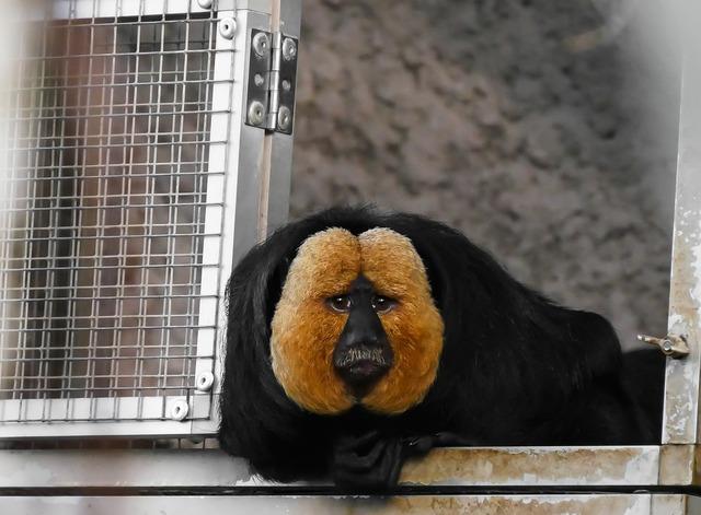 Animal monkey weisskopfsaki, animals.