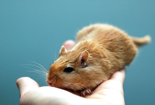 Animal rodent gerbil, animals.