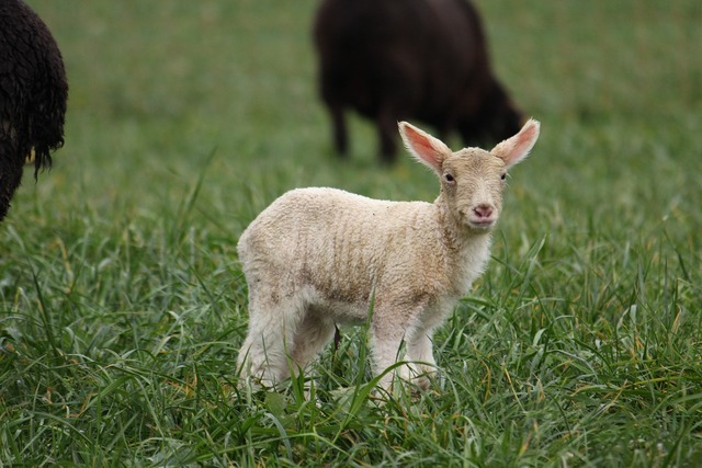 Animal sheep s, animals.