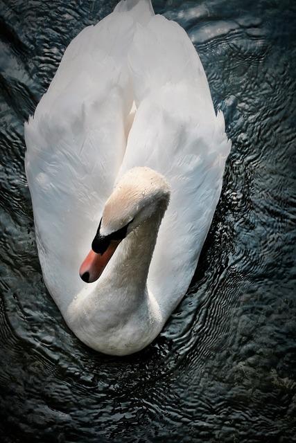 Animal swan lake, animals.
