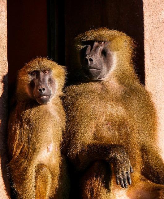 Animals ape barbary ape.
