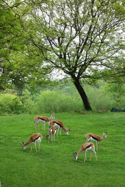 Antelopes pittsburgh zoo.
