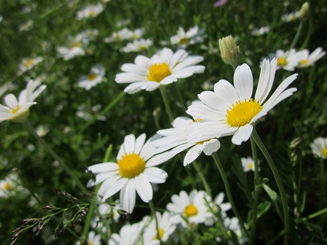 Anthemis arvensis corn chamomile mayweed, nature landscapes.