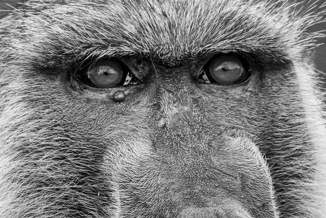 Ape baboons old world monkey.