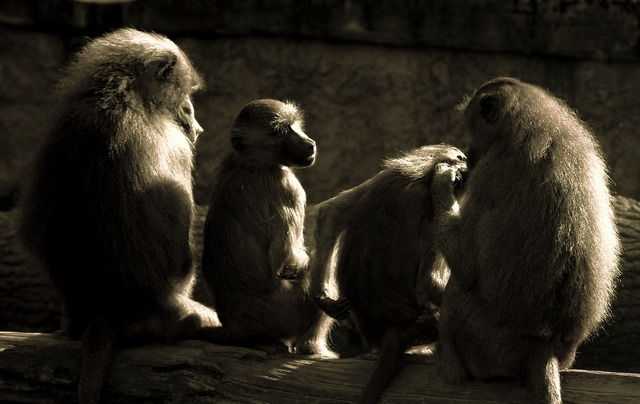 Ape baboons relaxation.