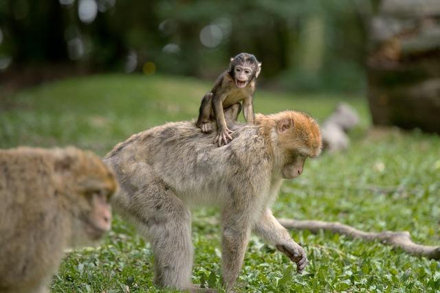 Ape berber monkeys mammal, animals.