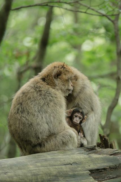 Ape berber monkeys young animal, animals.