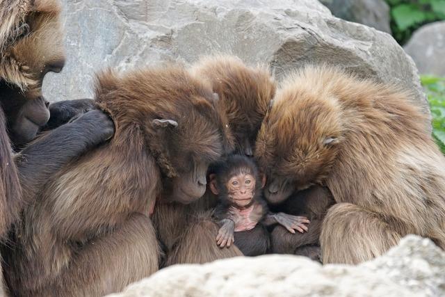 Ape dschelada primates.