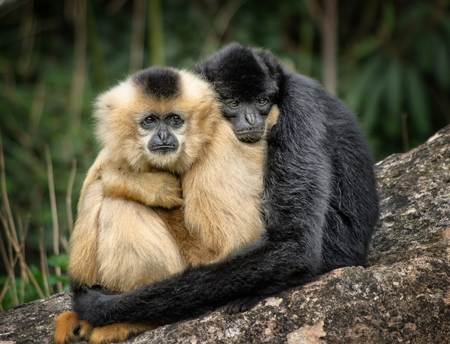 Ape hug affection, animals.